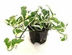 Pflanzen Für Gesundes Raumklima : 1001 ideen f r zimmerpflanzen f r wenig licht einzigartige zimmerdeko f r eine gem tliche ~ Indierocktalk.com Haus und Dekorationen