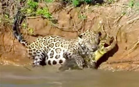 amazing jaguar s amazing footage of a jaguar diving into river to catch a