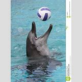 Bottlenose Dolphin Playing With A Ball | 957 x 1300 jpeg 124kB