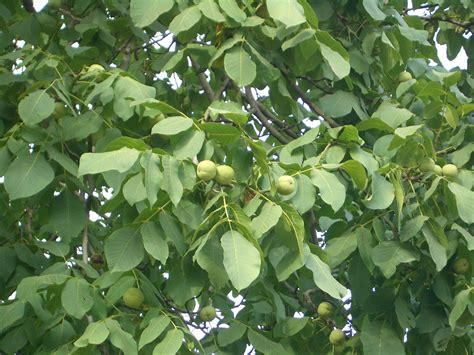 walnut tree top 28 walnut tree fruit warehouse black walnut juglans nigra walnuts melinda lovell how
