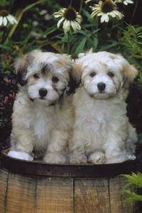 two cute havanese dogs photo