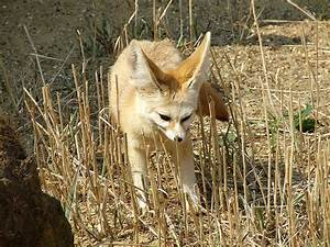 Picture 4 of 12 - Fennec Fox (Vulpes Zerda) Pictures ...
