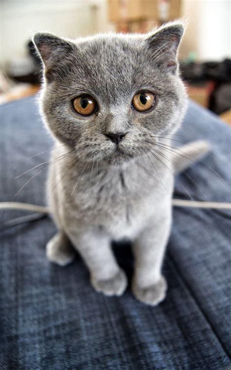 scottish fold kittens price range images