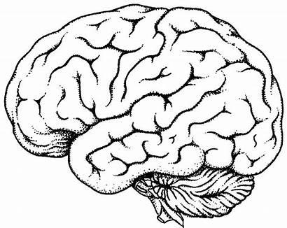Brain Coloring Drawing Human Simple Outline Diagram