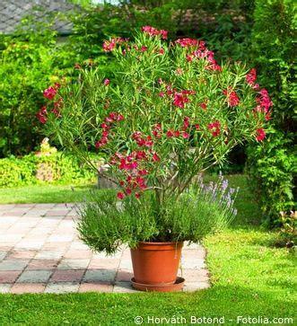 oleander im topf oleander pflege pflanzen d 252 ngen schnitt