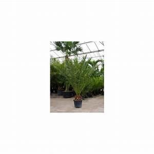 Phoenix Canariensis Entretien : planter palmier phoenix canariensis ~ Melissatoandfro.com Idées de Décoration