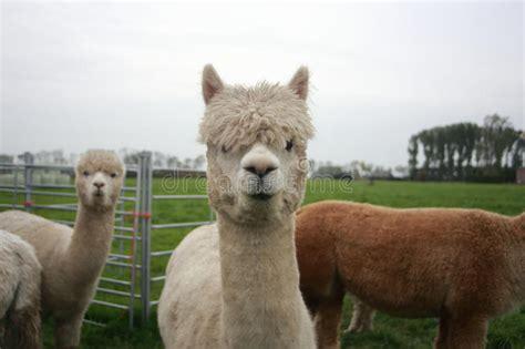 alpaca stock image image  alpaca camelid ruminant
