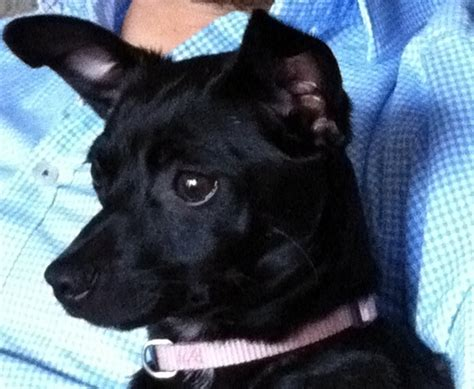 josefina dachshund humane society  dallas county