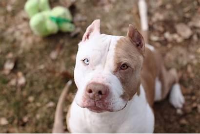 Pitbull Wallpapers Pit Bull Dog Backgrounds Terrier