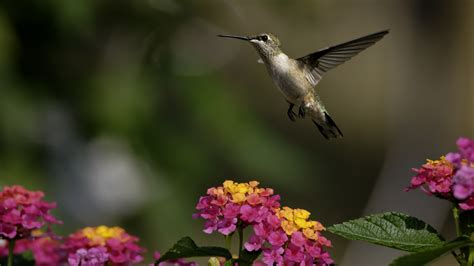 wallpaper colibri flowers flight blur animals
