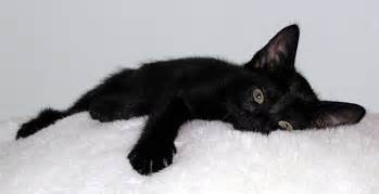 black cats for 15 black cats pictures and meet my cat kitty bloger