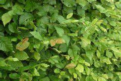 hainbuche wurzel entfernen hainbuche wei 223 buche topfpflanze 50 80cm 2 09