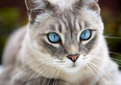 cats  blue eyes info breeds names cat world