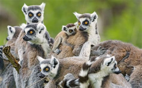 And Animal Wallpapers - lemur hd wallpapers