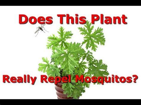 do citronella plants really repel mosquitoes which is the real citronella plant does it repel mosquitos sean primo