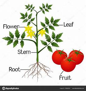 Illustration Showing The Parts Of A Tomato Plant   U2014 Stock