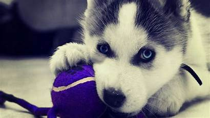 Husky Siberian Puppy Wallpapers Puppies Huskies Adorable