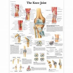 Knee Joint Chart Laminated 20 U0026quot  X 26 U0026quot