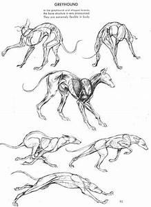 Greyhound dog anatomy reference and movement | Creature ...