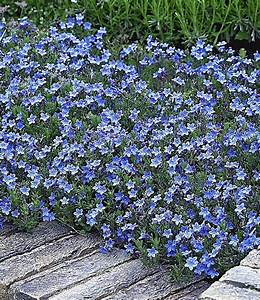 Bodendecker Blau Blühend Winterhart : lithodora 39 heavenly blue 39 polsterstauden bei baldur garten ~ Michelbontemps.com Haus und Dekorationen