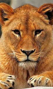 Lion iPhone 6 Wallpaper - WallpaperSafari