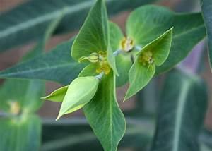 Purin De Sureau : 8 graines euphorbe herbe taupes euphorbia lathyris ~ Melissatoandfro.com Idées de Décoration