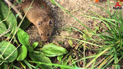 Field Mouse Close Up (garden) Feldmaus Nahaufnahme Im