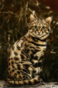 black footed cat great information about black footed cat animal