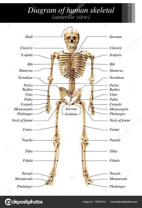 Image Schema Sch 233 Ma De Squelette Humain Photographie Fotoslaz