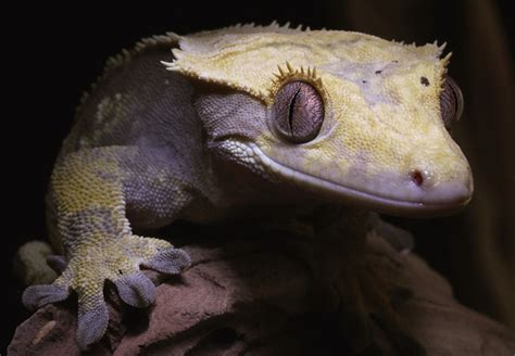 crested gecko lighting how to heat crested gecko enclosures pangea reptile