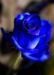 Beautiful Blue Roses Flowers