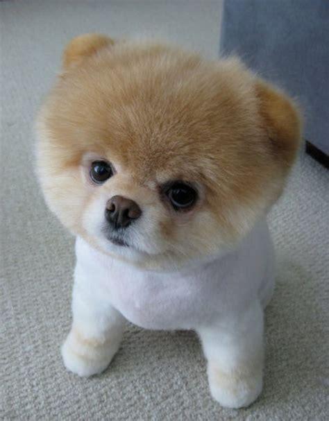 Boo A Very Cute Dog 16 Pics