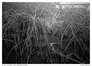 Black and White Mangroves Everglades