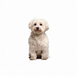 Poo-Chi Puppies - Visit Petland in Columbus, Ohio