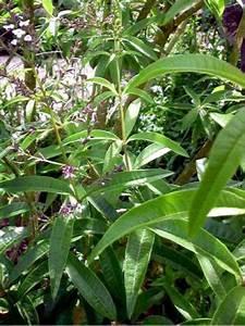 Verveine Plante Tisane : citronnelle verveine aloysia citriodora le jardin du pic vert ~ Mglfilm.com Idées de Décoration