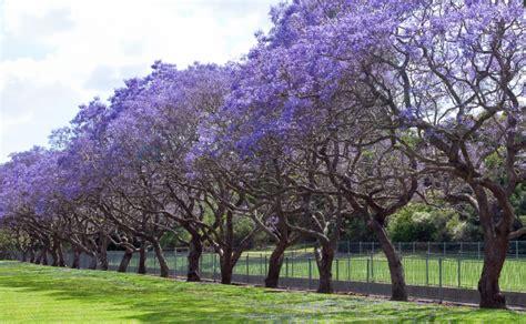 jacaranda tree jacaranda trees burke s backyard