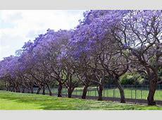 Jacaranda Trees Burke's Backyard
