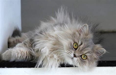 long haired cat breeds purrfect cat breeds