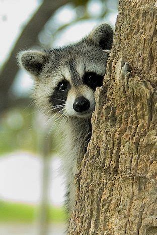 swinespi funny pictures cute raccoons raccoon pictures