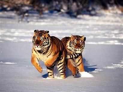 Tiger Siberian Wallpapers 1080p