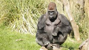 Kumbuka---Silverback-Gorilla-(c)-ZSL-(1)-WR.jpg