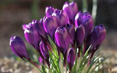 Wallpapers Purple Flowers Flower Spring Crocus Desktop