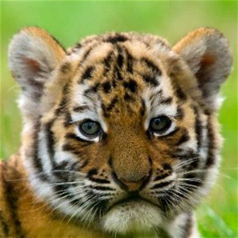 tiger reproduction animal facts  information
