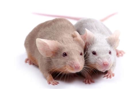 pictures of mice of mice mom and memory