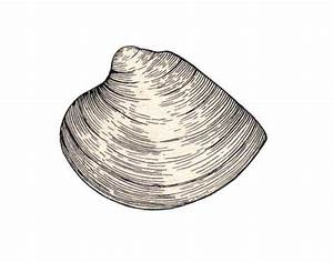 Clam External Anatomy