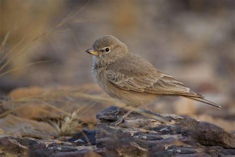 Desert Lark   Ammomanes deserti phoenicuroides   We found th…   Flickr