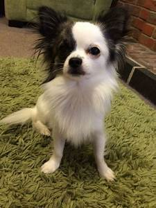 black and white long haired chihuahua for stud ...