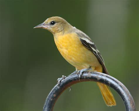 baltimore oriole photos birdspix