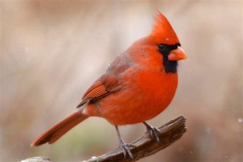 fun facts  trivia  northern cardinals