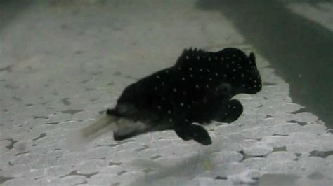 grouper freshwater guppies